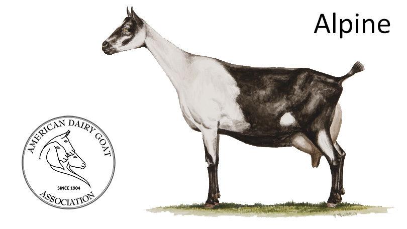 oberhasli dairy goats