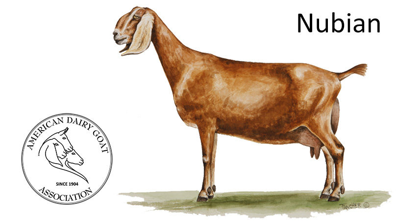 The Nubian Is A Relatively Large Proud And Graceful Dairy Goat Of Mixed Asian African European Origin Known For High Quality Butterfat