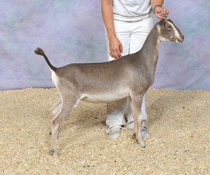 RESERVE JUNIOR CHAMPION GOAT-SAN BLUE RIVER GOAT-SAN