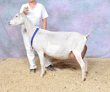 2015 ADGA NATIONAL SHOW LAMANCHA CHAMPIONS - American Dairy Goat ...