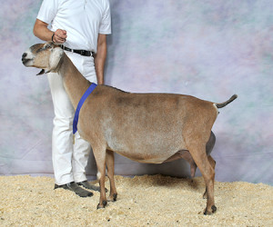 GRAND CHAMPION SGCH IRON-OWL PFY PIKA WOEST-HOEVE