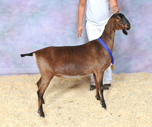 RESERVE JUNIOR CHAMPION MY-ENCHANTED-ACRES RNBOSKITLES MY-ENCHANTED-ACRES