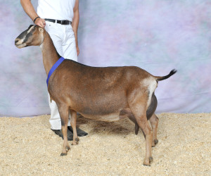 GRAND CHAMPION GCH GOAT-SAN ALL SPICE GOAT-SAN