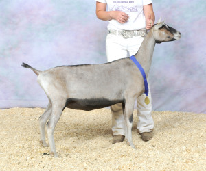 JUNIOR CHAMPION MLGH ZEPH/Q M TUMBLEWEED BLACKWING