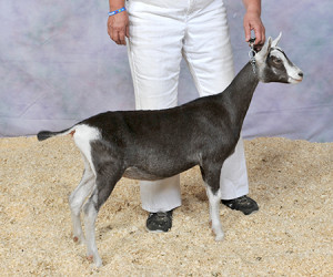 JUNIOR CHAMPION OBER-D'RAINBOW RB FYNLAE OBER-D'RAINBOW