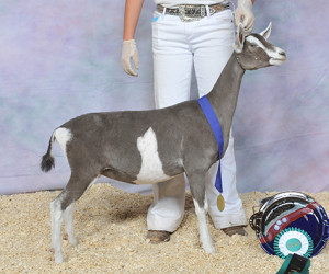 RESERVE JUNIOR CHAMPION GOATS ARE FOR GIRLS TALLULAH GOATS ARE FOR GIRLS