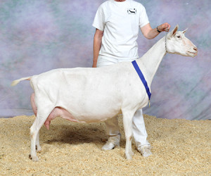 GRAND CHAMPION SGCH CISCO CSO CHARD KAZANA CISCO