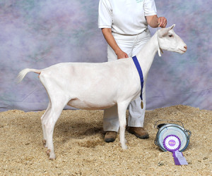 RESERVE JUNIOR CHAMPION JHFARMS LIFE'S SPOUT JHFARMS