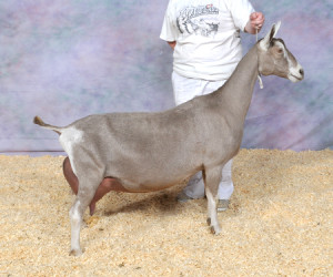 GRAND CHAMPION GCH JOHEAS-ACRES SHUFFLE-UP'N'DEAL JOHEAS-ACRES