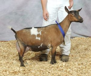 NIGERIAN DWARF GRAND CHAMPION