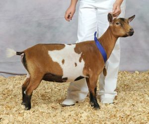 NIGERIAN DWARF JUNIOR CHAMPION