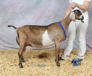 NUBIAN RESERVE GRAND CHAMPION