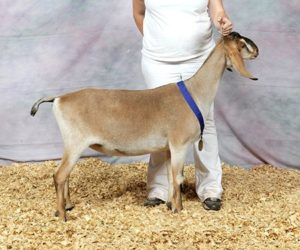 NUBIAN RESERVE JUNIOR CHAMPION