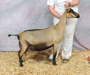 OBERHASLI GRAND CHAMPION