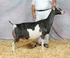 SABLE RESERVE GRAND CHAMPION
