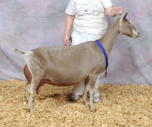 TOGGENBURG GRAND CHAMPION