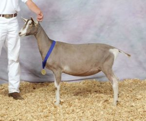 TOGGENBURG JUNIOR CHAMPION
