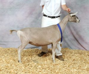 TOGGENBURG RESERVE JUNIOR CHAMPION