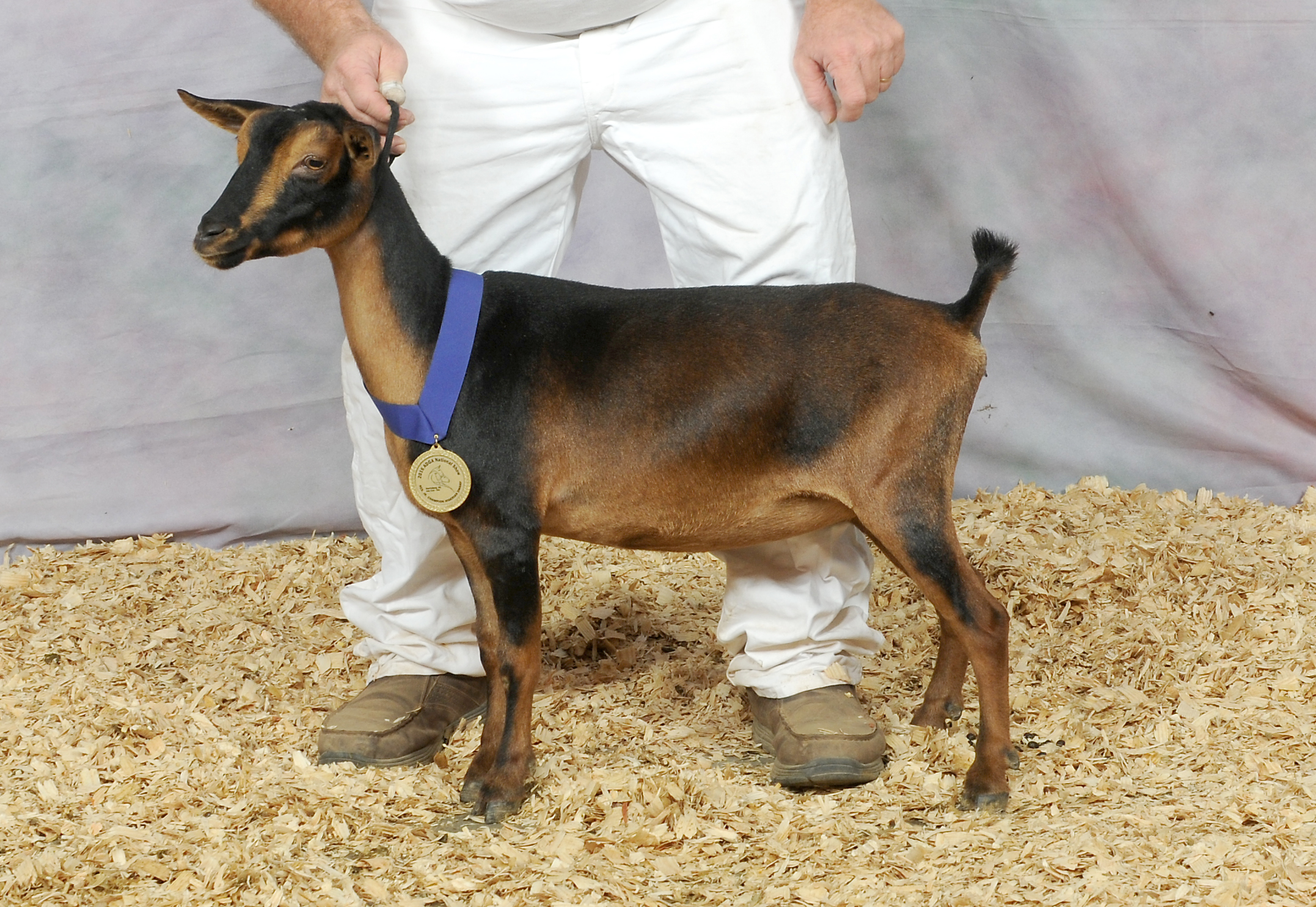 NIGERIAN DWARF RESERVE JUNIOR CHAMPION